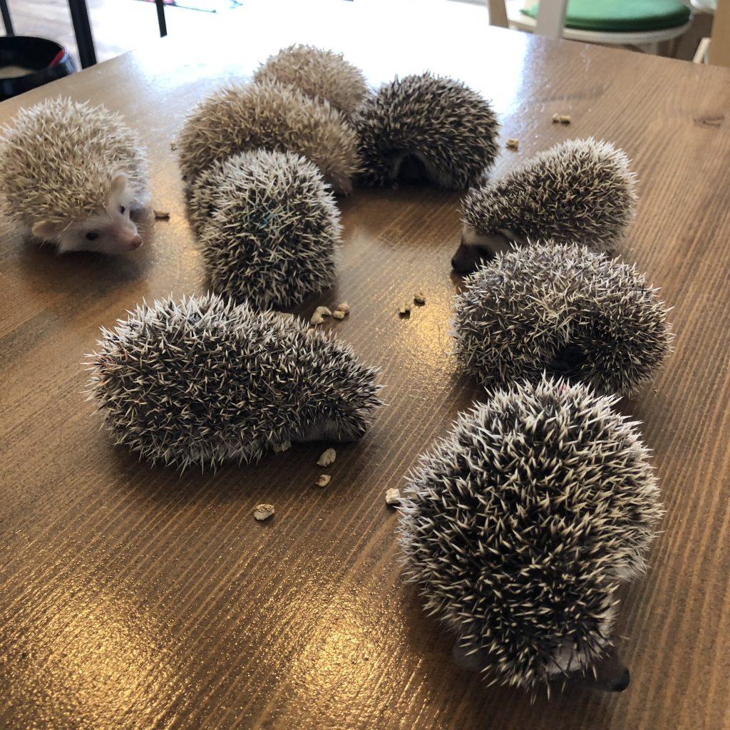 スタッフが愛情をこめて育ててきた国産ハリネズミ11匹!本日より展示販売開始!!