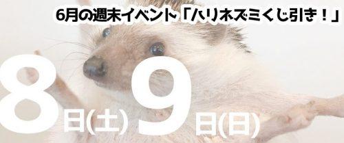 6月8日(土)9日(日)仙台・山形同時開催!「ハリネズミくじ引き!」